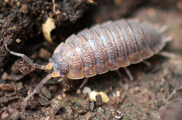 Woodlouse look like bed bugs.